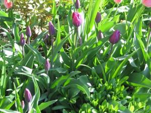 Tulipany fioletowe a miały być czarne