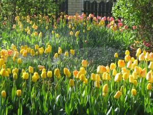 Tulipany  25.04.10