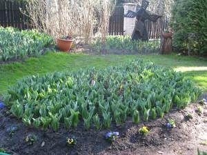 pierwsze promyki słońca i wschodzące tulipany trzy tygodnie temu
