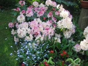 26.05 rododendrony i niezapominajki na Dzień Matki