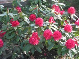 22.05 rododendrony