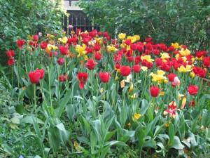 ostatnie tulipany