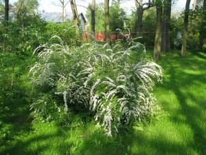 tawuła van houttea, krzew o zwisajacych gałęziach