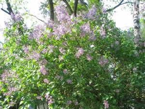 ogród 8.05.10 kwitnące bzy
