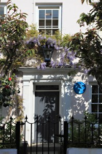 Alderney wisteria