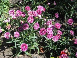 gożdzik ogrodowy -Dianthus caryophyllus