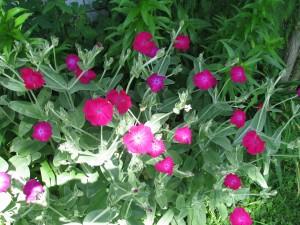 ogród firletka