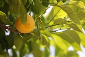 Cytryn na Sycylii jest tyle, co w Polsce jabłek