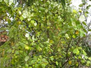 Pigwa drzewo z mojego ogrodu