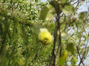 owoc pigwy