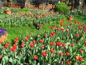 kotka w tulipanach