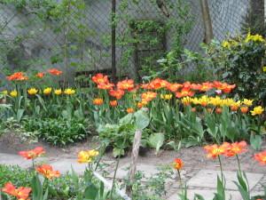 ulubiona odmiana tulipanów w ogrodzie za domem