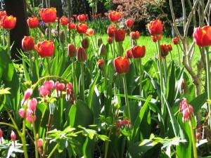 dwa tygodnie później zakwitły tulipany