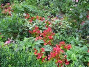 begonia drobno kwitnąca, piękna roślinka, wdzięczna i niezawodna